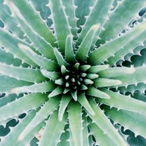 Virkningsfuld velvære med den alsidige aloe vera